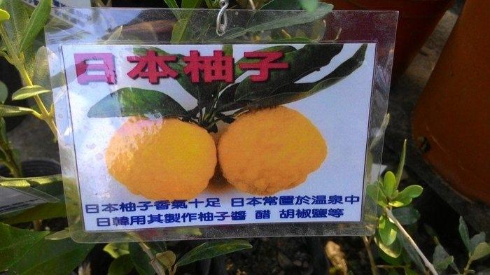 日本柚子4吋盆高30-40cm OvO