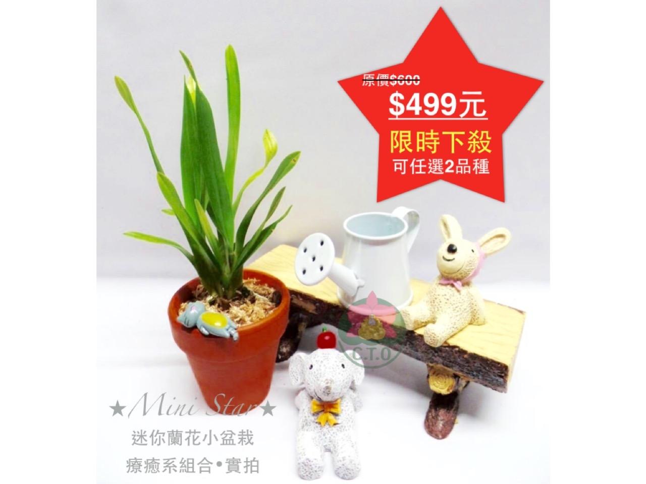 Mini Star千姿蘭園Chian-Tzy Orchids迷你蘭花文心蘭Oncidium-療癒系迷你蘭花盆栽組合