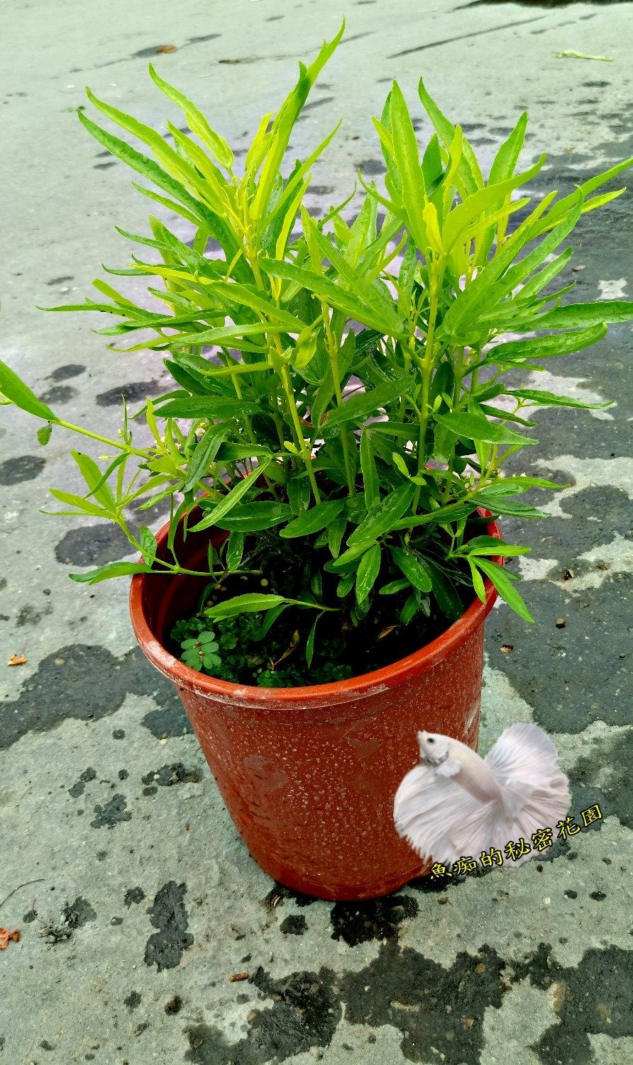 活體印尼驅蚊樹室外植物5-6吋盆栽送禮小品盆栽