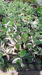 室內盆栽斑葉毬蘭三盆一組3吋盆高15-20cm葉型多變漂亮好看花花世界玫瑰園kk