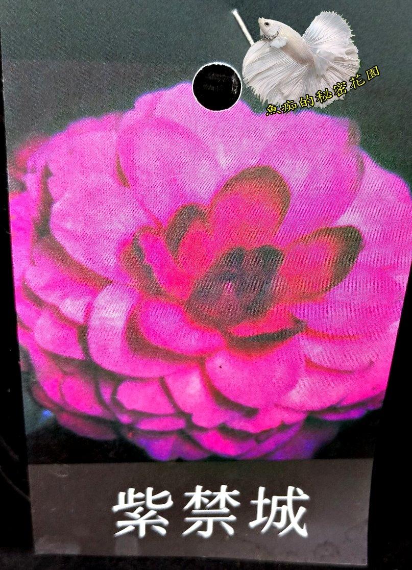 [紫禁城茶花苗] 3.5吋 觀賞茶花盆栽 活體花卉盆栽 半日照 需換盆才會比較快開花