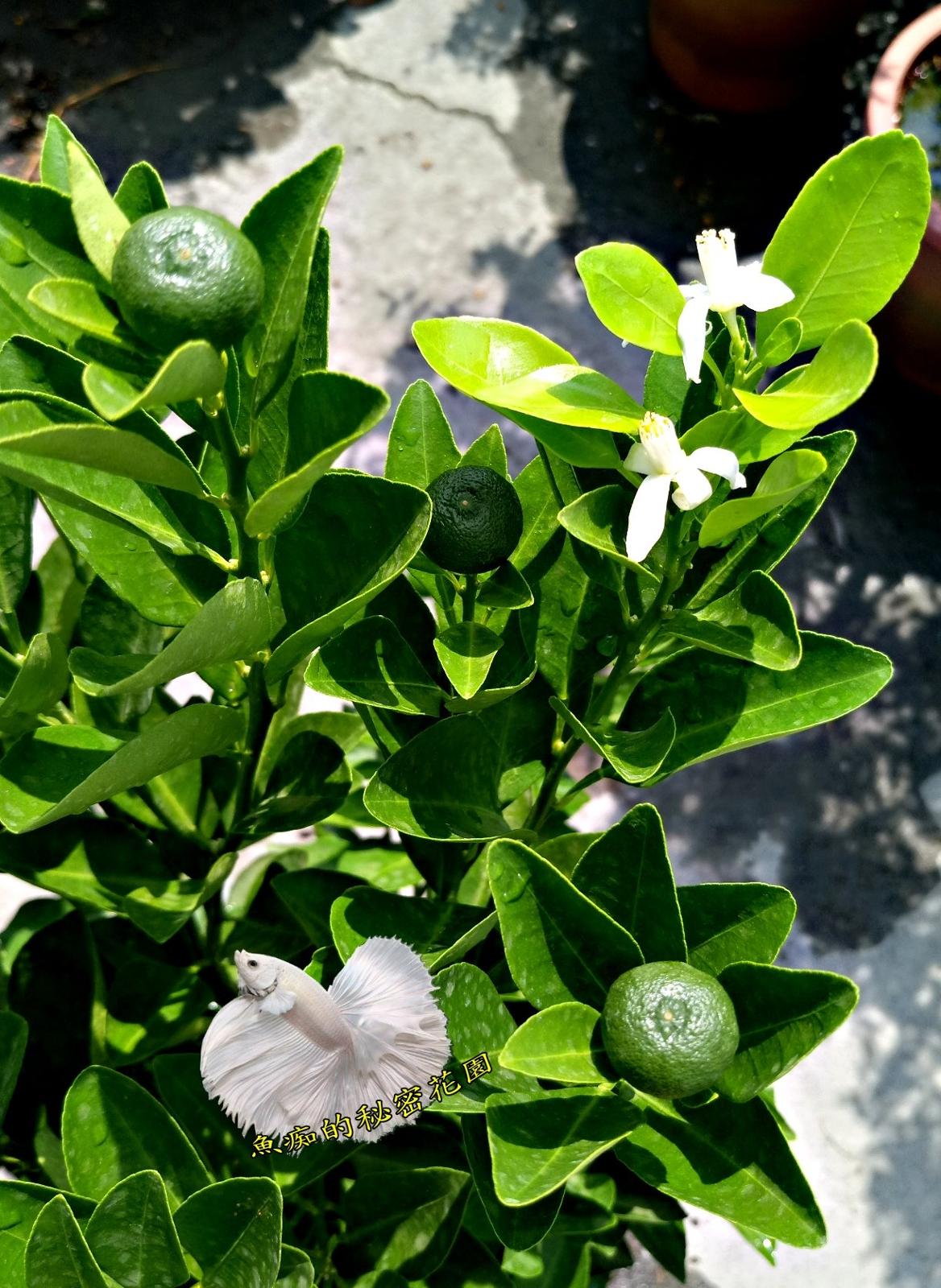 大金桔盆栽金桔檸檬原料6-7吋活體果樹盆栽送禮小品盆栽室外植物