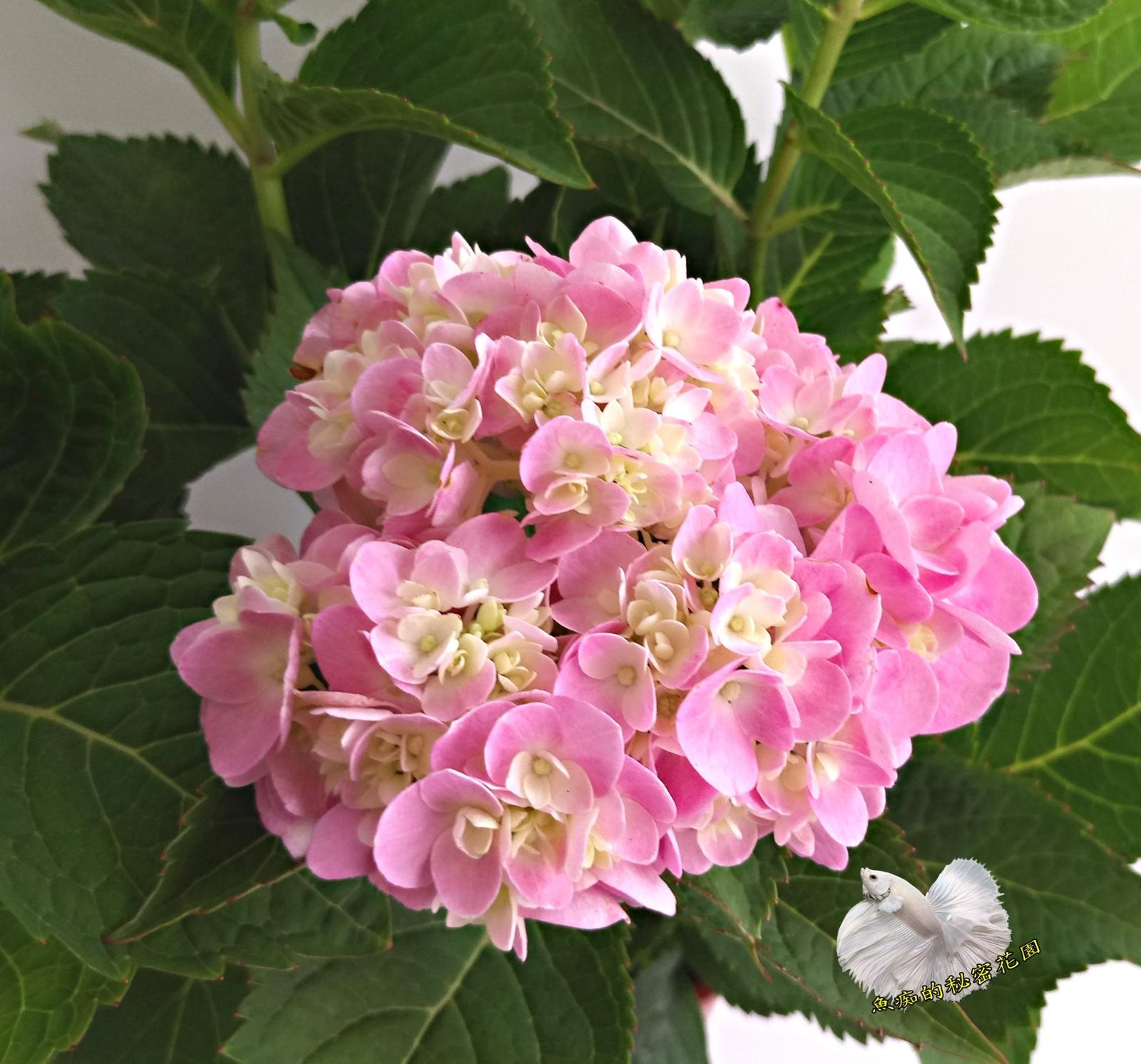 多年生 粉紅色繡球花紫陽花盆栽 5-6吋盆活體盆栽