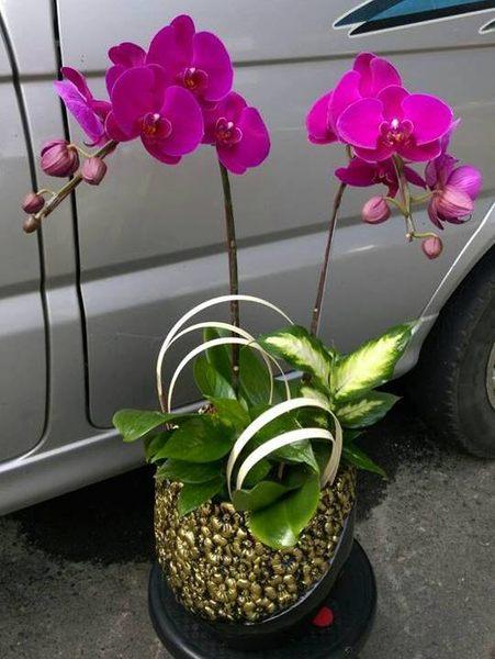 蘭花盆栽蘭花店精緻小品蝴蝶蘭組合盆景花麗雅-二