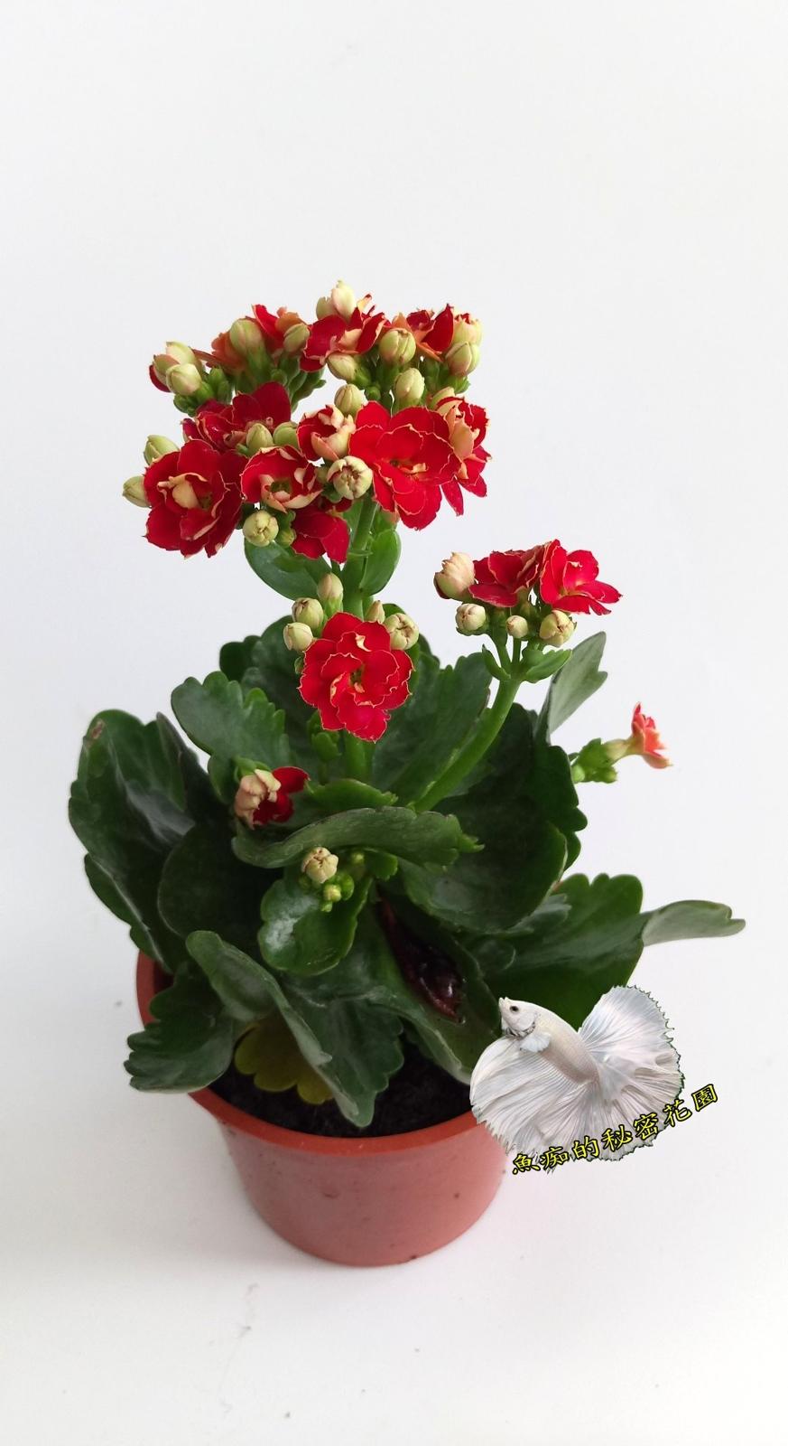 [紅色] 重瓣複辦多辦長壽花盆栽  3吋盆活體盆栽