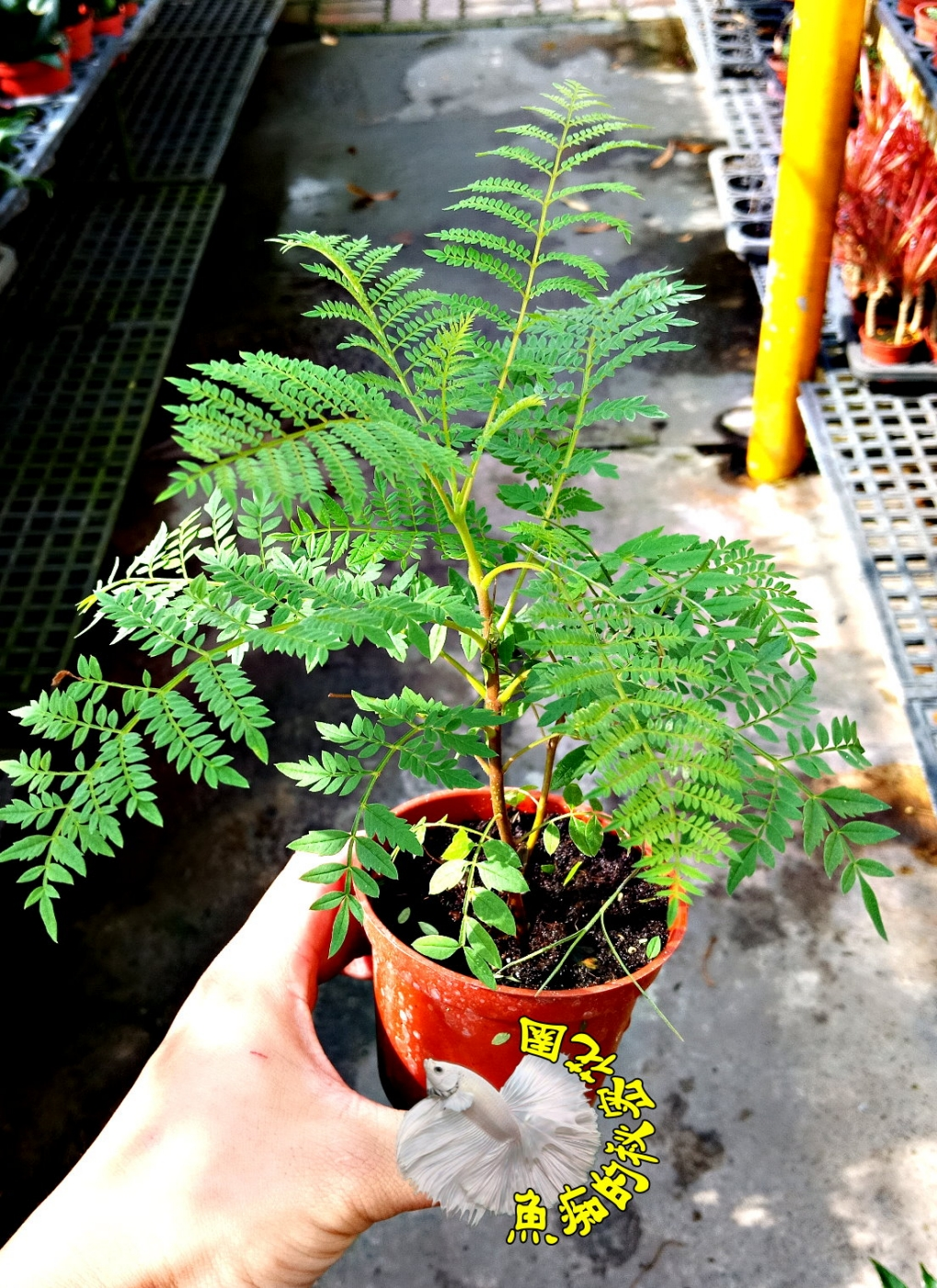 活體藍花楹小樹苗室外植物3吋盆栽送禮小品盆栽