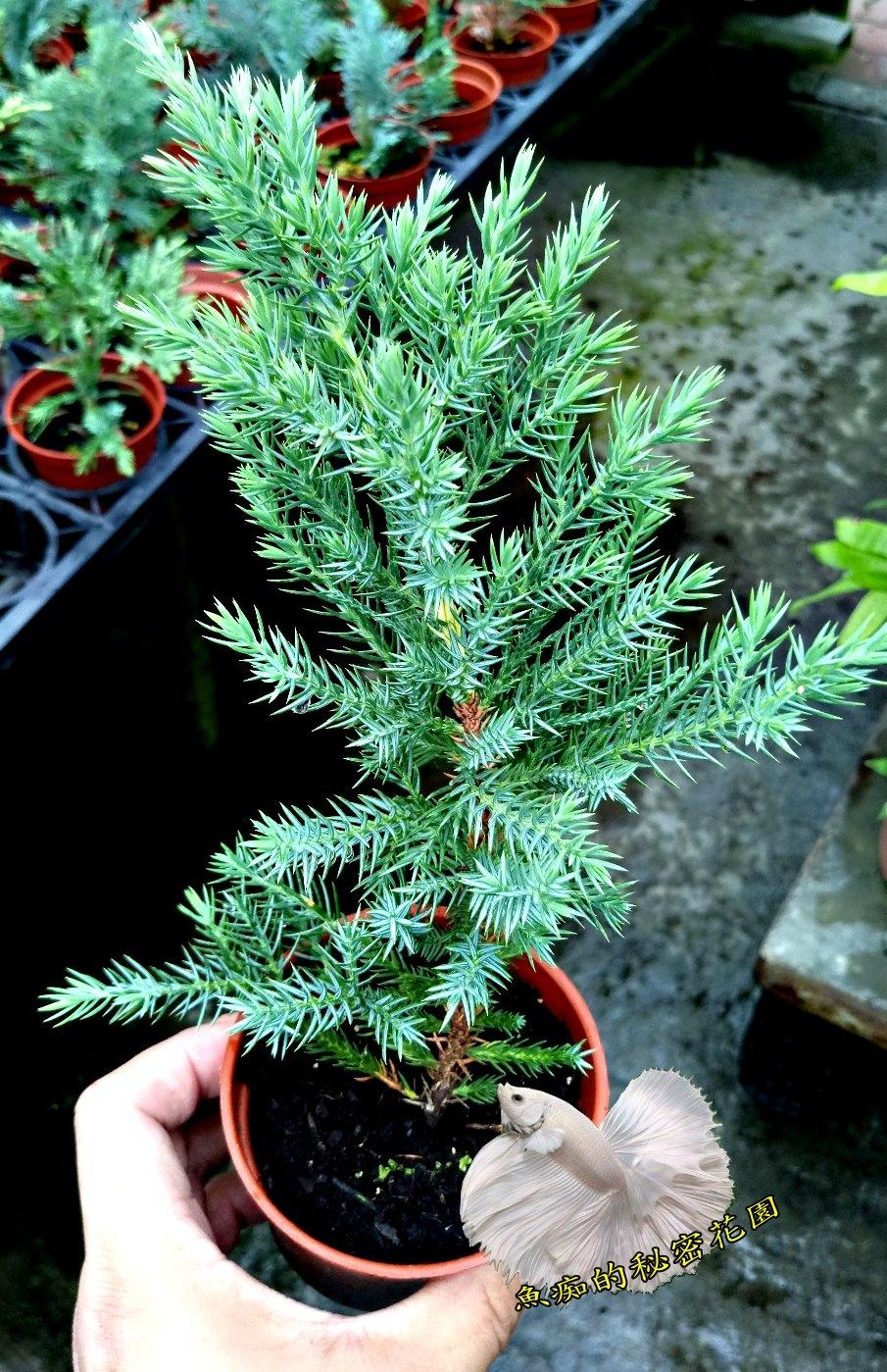 活體堰柏小松樹小柏樹室外植物3吋盆栽送禮小品盆栽