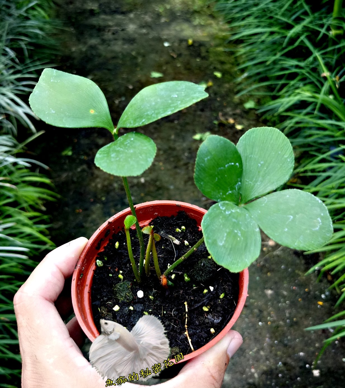 活體闊葉鐵樹室內植物3吋盆栽送禮小品盆栽