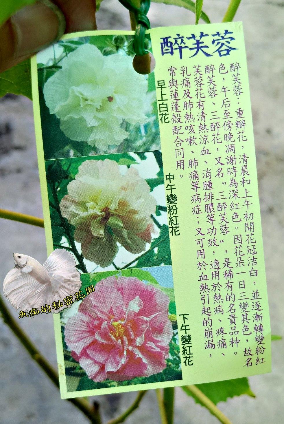 醉芙蓉山芙蓉盆栽花會變色6-8吋活體盆栽送禮小品盆栽