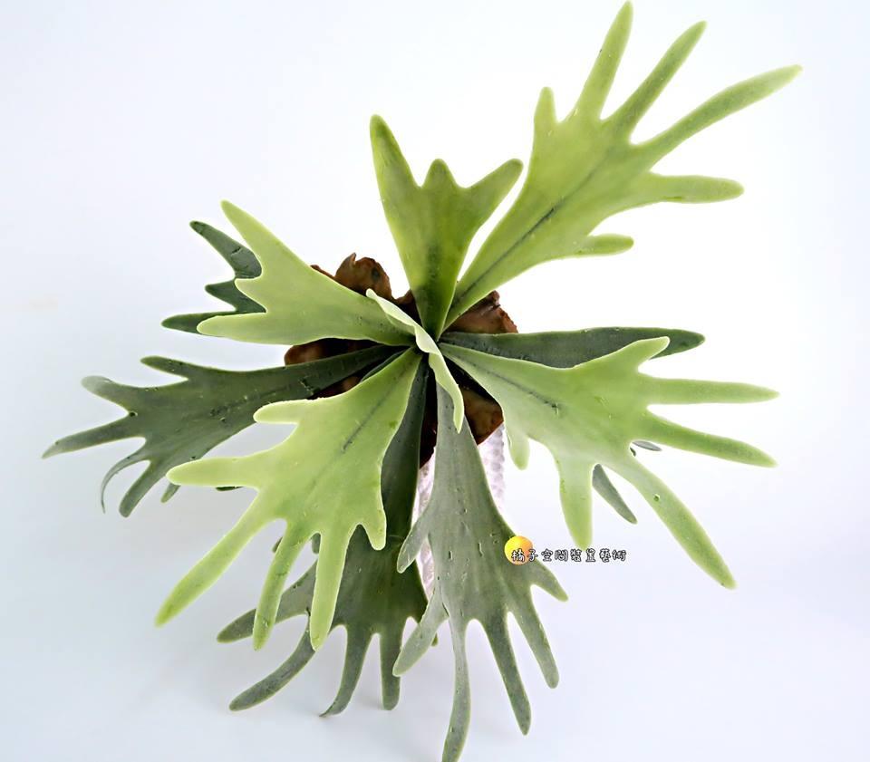 仿真鹿角蕨鹿角苔掛牆壁蕨類植物人造花.假樹.居家.店面.櫥窗擺飾.園藝