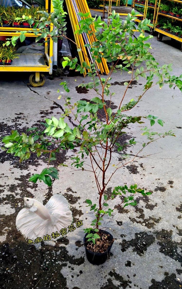 活體樹葡萄中苗嘉寶果盆栽室外植物4吋盆栽送禮盆栽