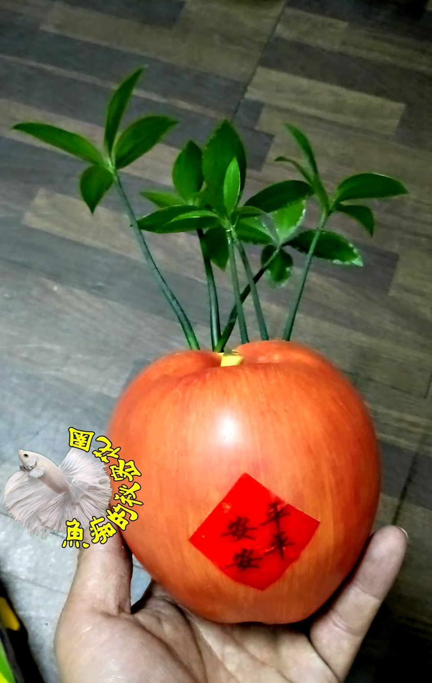 蘋蘋安安蘋果造型竹柏盆栽活體植物送禮組合盆栽