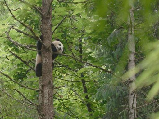內地設立首批國家公園 大熊貓國家公園橫跨三個省份