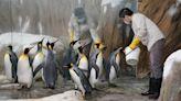 國王企鵝也要做白內障手術 動物園開冷氣、裝冰塊「保冷」