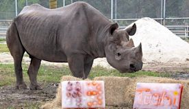 Happy 43rd birthday to the oldest male black rhino in the US