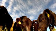 Calves have an adorably curious reaction to a Gopro left in the grass