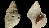 Conch shell thought to be ceremonial cup turns out to be 18,000-year-old instrument
