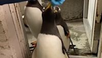Penguins Waddle Onto Scale for Weigh-Ins at Milwaukee Zoo