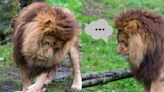 媽不在家公獅擔任起奶爸 牠手忙腳亂好憂愁:老婆快回來!