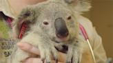 救救國寶!澳動物園為400無尾熊接種「披衣菌」疫苗-台視新聞網
