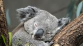 South Australia uses facial recognition drones to help save koalas | ZDNet