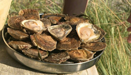 Threatened with extinction, the flat oyster could return to the table