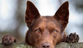 What Australian Dog Breed Fits Your Personality?