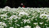 桃園大溪韭菜花季近尾聲 周邊景點值得一遊