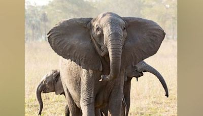 'Rapid evolution' of tuskless elephants caused by ivory trade, scientists say