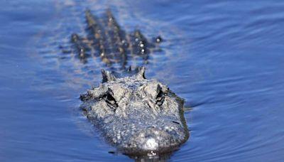 查看颶風水災後失蹤 老翁遺骸在短吻鱷體內找到