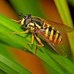 wasp by Flickr user Massimo fersini