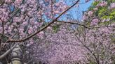 寺廟櫻花海美景+1 粉色滿天浪漫隧道
