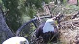 New Eagle Cam Provides Intimate Look Into Lives Of Bald Eagles In South Florida