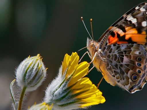 Hope takes flight: L.A.'s Natural History Museum will reopen its Butterfly Pavilion & gardens