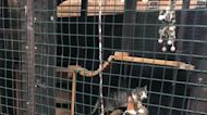 Rehabbed Feral Cats Introduced to Feline Puppet Pal