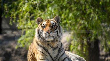 專家:中國東北已是至少55隻野生東北虎的家園|未來能支持300餘只東北虎的生存