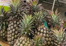 日商承諾採購3000公噸台灣菠蘿 日本7-Eleven今年將販售相關產品