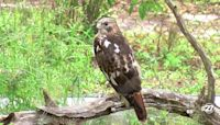 New 'Birds of Prey' Aviary open at Tallahassee Museum
