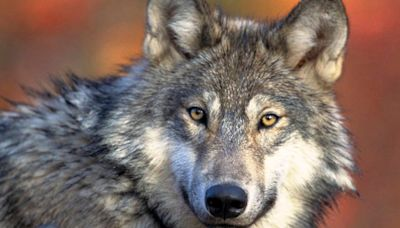 Wisconsin Wolf Hunt Temporarily Blocked By Court