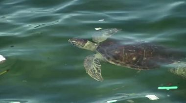 Turtles appear in bays amid Brazil's lockdown