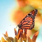 butterfly by Flickr user ►CubaGallery