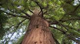 The 25 tallest trees in the world