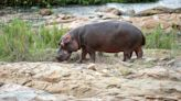 Pablo Escobar's 'Cocaine Hippos' Are Taking Over Colombia: 'A Cull Is Now the Only Option'