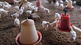 Boy Dies of Bird Flu in India's First Case of Human Death
