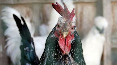 Japan's bird flu outbreak spreads to second prefecture