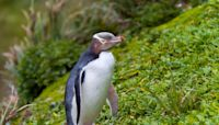 Endangered hoiho penguin wins New Zealand's bird of the year poll