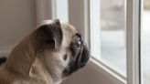 Vets warn about separation anxiety in dogs as lockdown eases - here's how to combat it