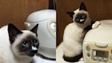 天氣冷貓咪手扶「飯鍋取暖」 網上竟好多貓附和:真的不錯!