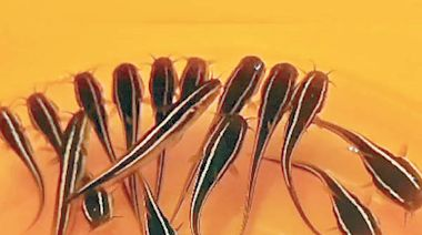毒魚群襲黃金泳灘 數百坑鯰潛伏海床 - 東方日報