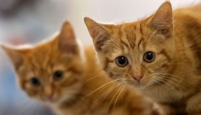 New York cats become 1st pets to test positive for coronavirus in the U.S.